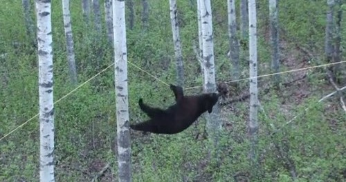 black bear walks tight rope