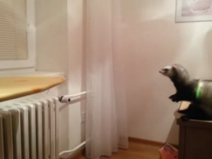 Ferret Thinks it can make the jump